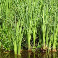 Аир болотный Вариегатный